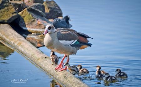 Kuikens Nijlgans - Blijft schattig om die kleintjes te zien - foto door Twist_zoom op 08-03-2021 - deze foto bevat: water, nijlgans, watervogel, jongen, boomstam, klimmen, kuikens