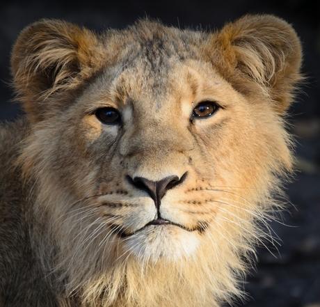 Portret van een Aziatische Leeuw .