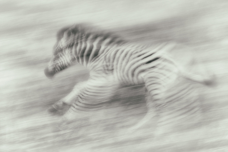 Chasing Stripes