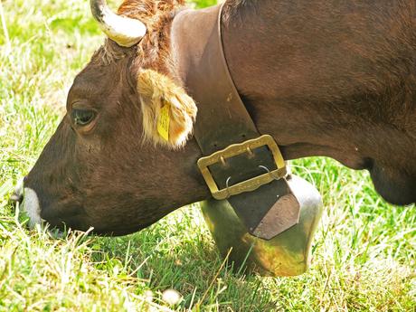 Grazende koe met bel
