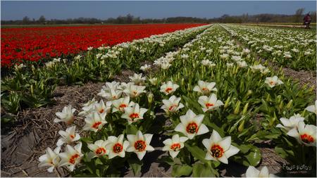 Bollenvelden bij Noordwijkerhout - Bollenvelden bij Noordwijkerhout - foto door Jan Zuijderduijn op 23-04-2015