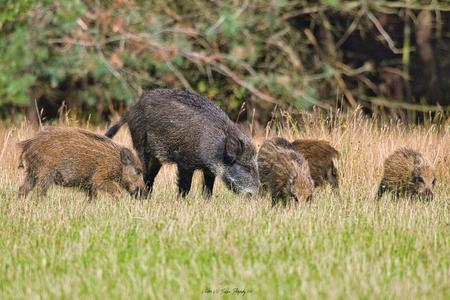 Wild Varken met frislingen - Een rotte wilde varkens met frislingen op de Noord Veluwe - foto door Waltherwb op 04-04-2021 - deze foto bevat: veluwe, dieren, wild zwijn, wild varken