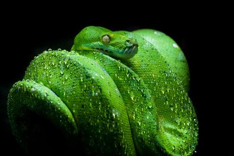 Groene boom python Thailand