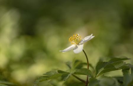 Anemoontje.... - We worden zo ongeveer overspoeld met opnames van de bosanemoon op dit moment. Het is dan ook best een sierlijk dansende en wuivende bosbodem bedekker - foto door franspelzer op 05-04-2021 - deze foto bevat: groen, macro, wit, bloem, bos, voorjaar, bosanemoon, franspelzer