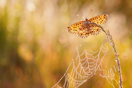 Enjoy the beautiful morning! - Dindsdagochtend, een heerlijke ochtend beleeft, met dauw en deze prachtige vlinder, het was als een sprookje.  Iedereen een fijn weekend gewenst en - foto door tom kruissink op 29-07-2016 - deze foto bevat: macro, zon, natuur, vlinder, oranje, morgen, web, druppels, tegenlicht, zomer, insect, dier, nat, dauw, dagvlinder, juli, bokeh, opwarmen, Zilveren Maan