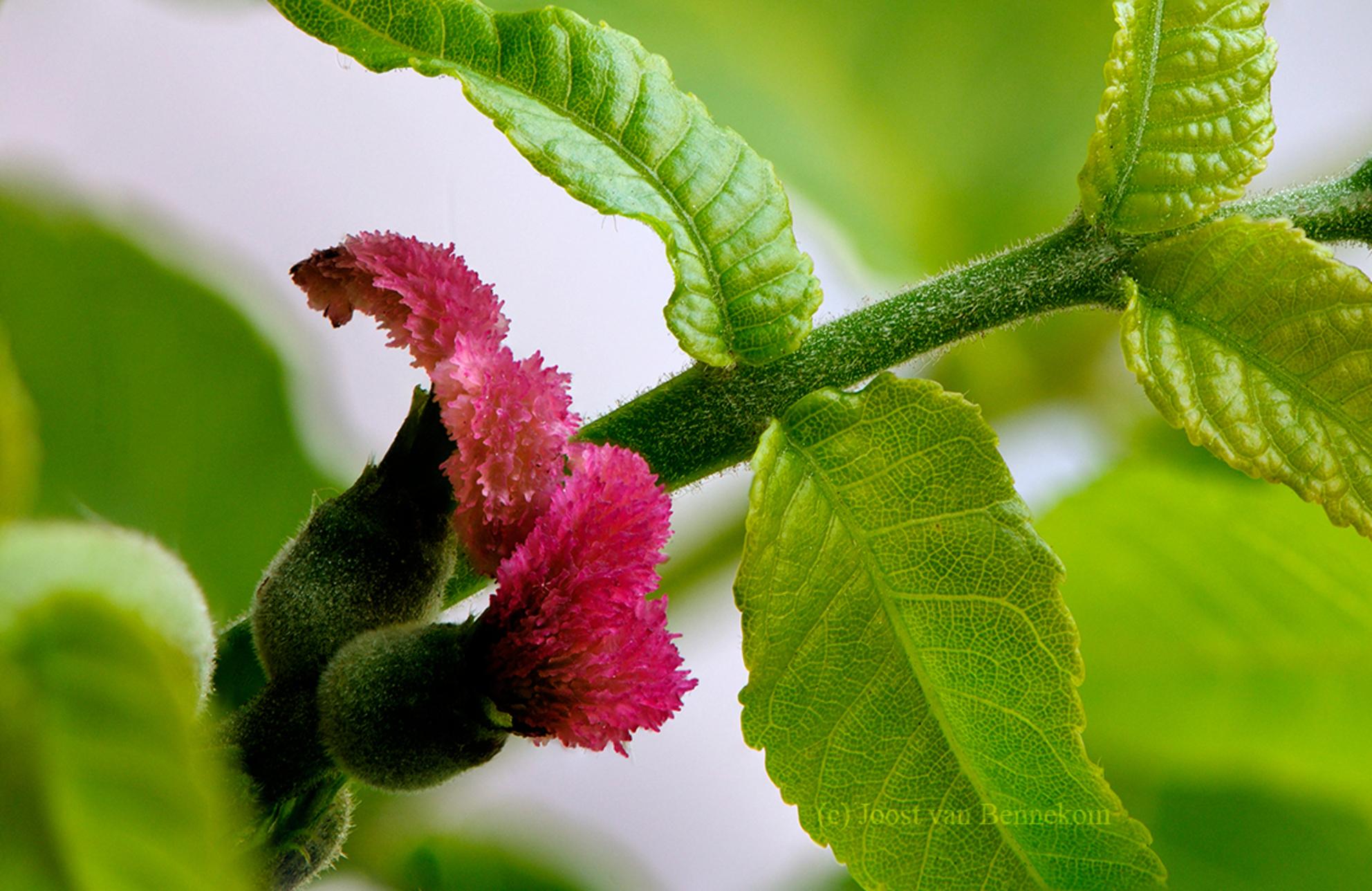 Zwarte walnoot (Juglans nigra) - Omdat dit bloemetje zo klein is had ik me er niet eerder in verdiept. De roze bloemblaadjes zijn ongeveer 5 mm lang. Het zijn de vrouwelijke bloemen - foto door joostopzoomnl op 02-06-2015 - deze foto bevat: roze, groen, macro, boom, bloem, natuur, voorjaar, nikon, bloesem, photoshop, scherptediepte, joost, stapelen, walnoot, nikkor, bokeh, vrouwelijk, stack, juglans, natuurlijk licht, juglans nigra, zwarte walnoot, walnut, black walnut, black walnut female flower