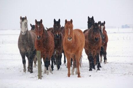 Paarden in een sneeuwbui
