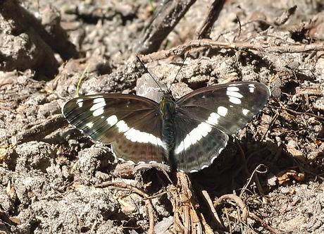 Kleine ijsvogelvlinder