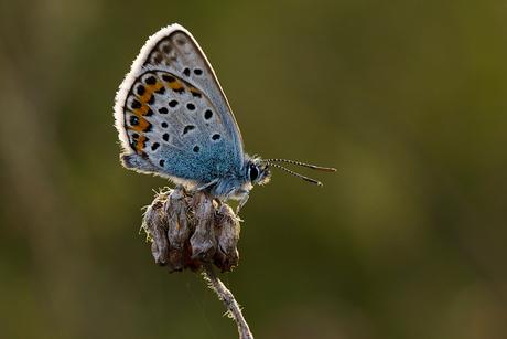 Heideblauwtje 1