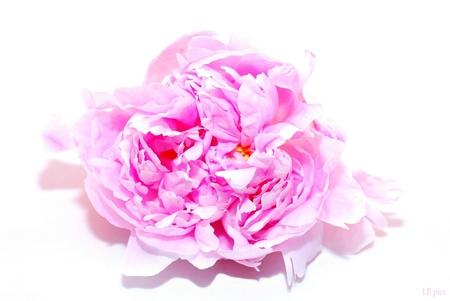 Pioen Sarah Bernard - Ik maak voor onze nieuwe website dit soort foto's om klanten goed het product te laten zien .Zo ook deze prachtige Pioenroos - foto door XIANG op 24-07-2011 - deze foto bevat: bloemen, pioen