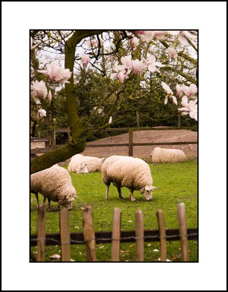 Van de magnolia, de schapen en het kastanjehek