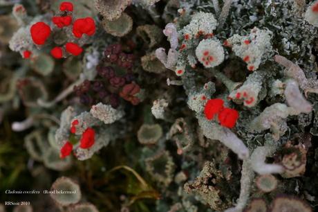 rood bekermos