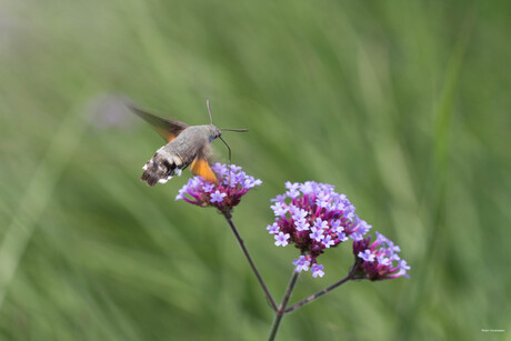 Colibrie vlinder
