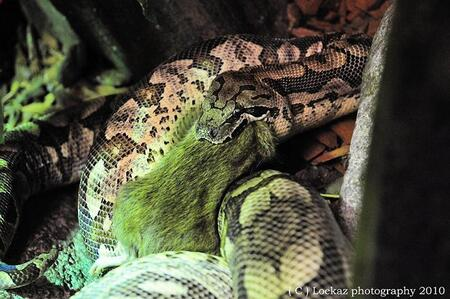 Hongerige slang - Foto is gemaakt in het serpentarium van Blankenberge. - foto door loekaz op 14-08-2010 - deze foto bevat: dieren, slang, reptielen