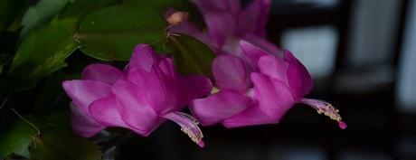 roze vliegende zwanen (lidcactus)