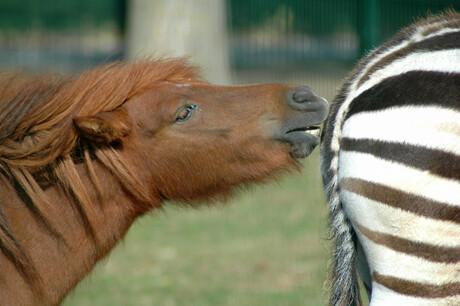 paard versus zebra
