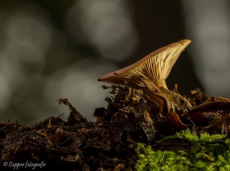 Valse Hanekam, Hooghalen - Echte herfstsfeer tijdens de macrodag in Hooghalen. Extraatje is het druppeltje onderaan de paddenstoel. Vergroot nog mooier. - foto door copper-krijger op 27-10-2014 - deze foto bevat: macro, natuur, druppel, paddestoel, herfst, drenthe, bokeh, hooghalen, zoomdag hooghalen