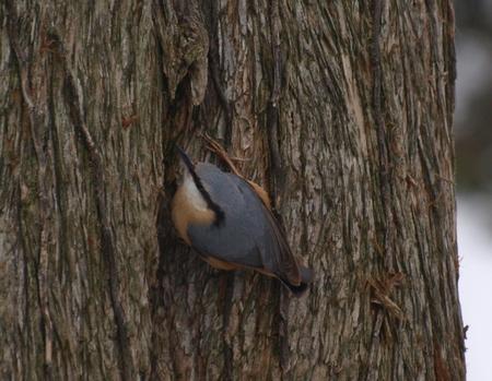 Boomklever - op zoek naar voedsel - foto door corbootsma op 12-01-2010 - deze foto bevat: boomklever