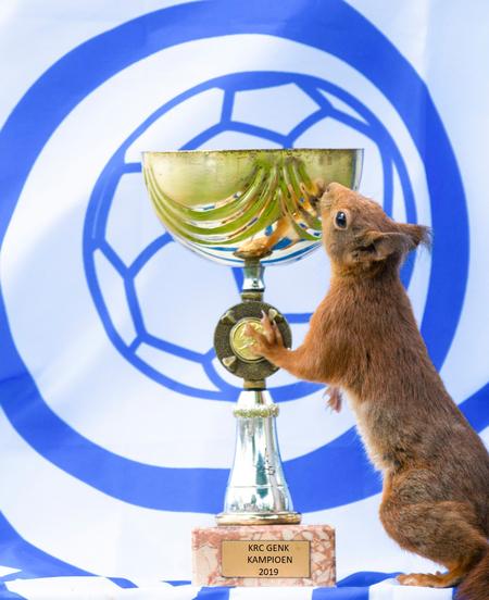 KAMPIOEN 2019 - In Belgie is KRC Genk gisteren tot kamioen gekroond en uiteraard wil mijn eekhoorn ook zijn enthousiasme tonen voor de winnaar - foto door Squirrelman op 17-05-2019 - deze foto bevat: groen, natuur, portret, dieren, eekhoorn, wild, bos, nikon, grappig