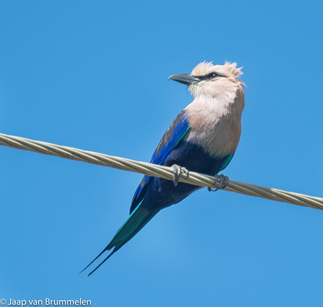 Blue-bellied Roller, Blauwbuikscharrelaar