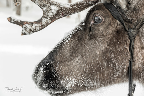 Rudolph is weer thuis
