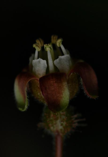 krijsbes bloem