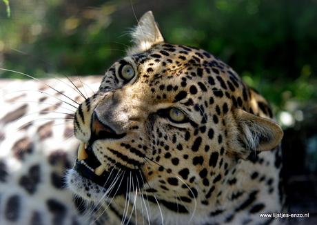 Zuid Afrikaanse Pracht de luipaard