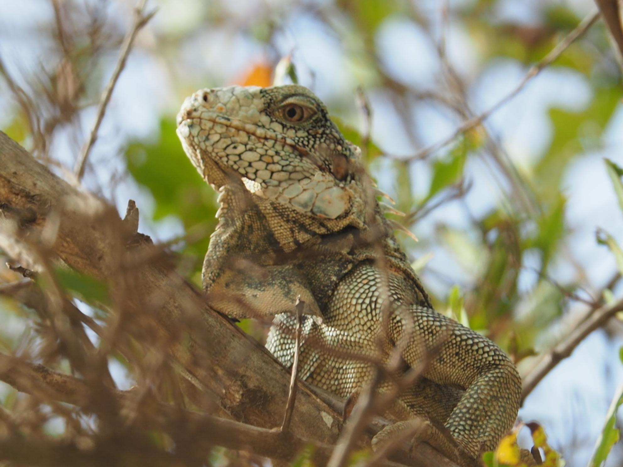 Rustaaaaagh - Deze leguaan zat al een poosje boven ons hoofd in de boom. - foto door langeman1969 op 21-06-2019 - deze foto bevat: vakantie, leguaan, wildlife, curacao, cas abao