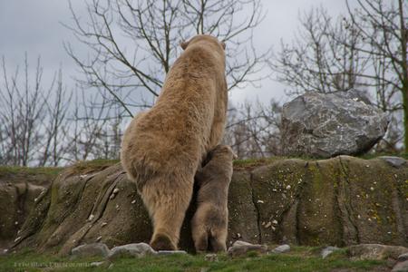 Samen klimmen - - - foto door LecomtePriscilla op 13-04-2015 - deze foto bevat: dierentuin, dieren, ijsbeer, blijdorp