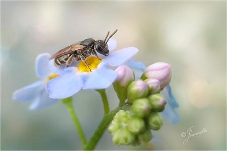 Groefbijtje op vergeetmeniet.... - Er zijn 53 soorten Groefbijen in Nederland, waarvan er 39 zeldzaam zijn. De vrouwtjes groefbijen hebben een kleine verticale inkeping (groefje) op he - foto door JeannetteH op 28-02-2021