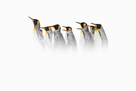 Pinguins in the Mist (Snowstorm)