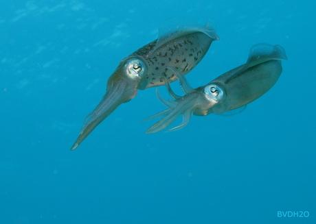Mating squids
