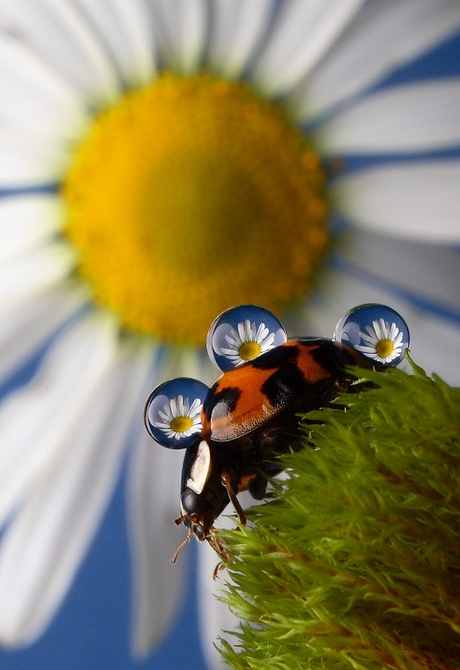 """Bloemendruppels """"Three Times a Lady(bug)"""""""