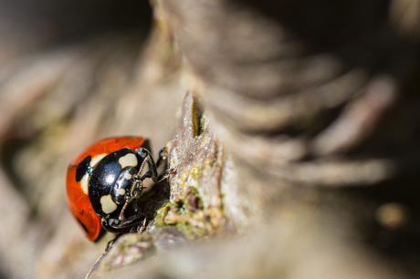 Lieveheersbeestje op doortrek