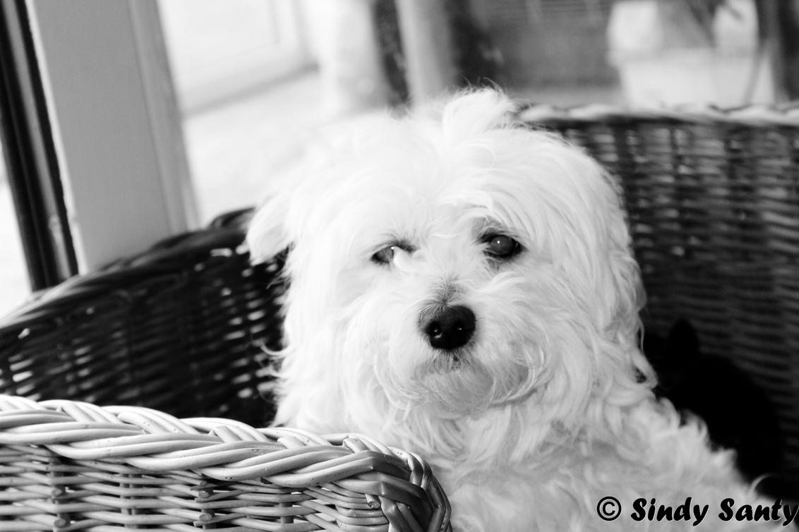 Boomertjee - Mijn hondje boomer (: - foto door sindyy op 27-07-2012 - deze foto bevat: wit, zwart, hond, boomer, ...