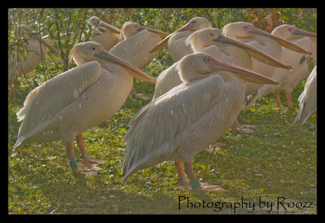 Pelikanen in de regen...
