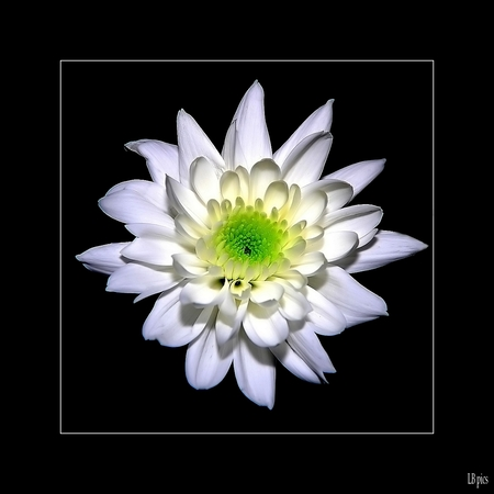 Euro blanc 2 - - - foto door XIANG op 25-02-2010 - deze foto bevat: wit, bloem, euro, chrysant