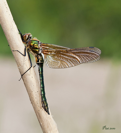 Smaragd Libelle.