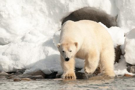 ijsbeer.jpg