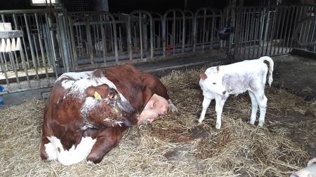 dikke tieten. - deze zorgzame moeder heeft genoeg melk in de uiers voor het pasgeboren kalf. - foto door RolandvanTol op 06-03-2021 - deze foto bevat: natuur, koe, dieren, geboorte, kalf, stal
