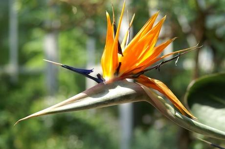 Botanische Tuin, Berlijn, Paradijsvogelbloem