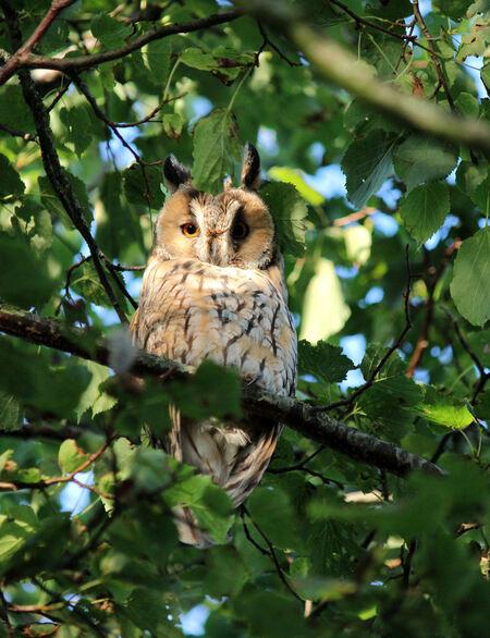 """ransuil - In een boom in het dorp zitten 5 ransuilen. Een paar met drie jongen. Overdag stil te wachten, maar eigenlijk haast niet """"te pakken te krijgen"""" vanwe - foto door ljdrost op 22-08-2015 - deze foto bevat: uil, ransuil, ljdrost, tussen de blaadjes., in avondlicht, hoog in boom"""