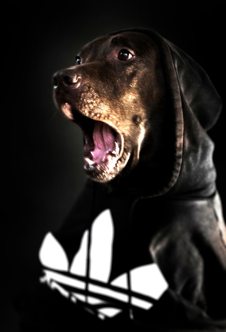 dog. - Foto van  hond cody. Een echte hooligan. - foto door willemhofman op 23-06-2012 - deze foto bevat: portret, huisdier, hond, dog, pet, kleding, lowkey, hooligan