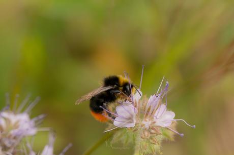 Busy Bumblebee