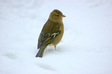 Vink in de sneeuw - gemaakt met de D 50 door het raam , terwijl de vink boord aan het zoeken was - foto door beve op 09-12-2010 - deze foto bevat: beve, bert veerman, natuur  vogels