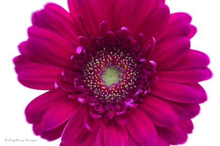 Full frame Magenta - Voor de verandering maar eens iets pontificaler in beeld dan normaal, moet kunnen - foto door Puck101259 op 30-04-2018 - deze foto bevat: paars, bloem, licht, tuin