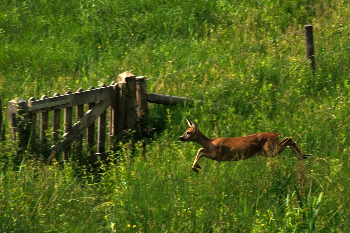 Vluchtende Ree - Deze Ree schrok ergens van en probeerde de benen te nemen, hij moest remmen bij het hek en vluchtte alsnog de andere kant op. - foto door contactmail op 20-07-2013 - deze foto bevat: hek, ree, bos, dier, weide, vluchten
