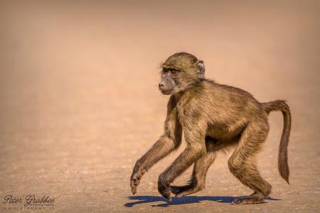 Namibische baviaanpuber - Deze baviaan (baboon) stak, tijdens een wandeling van ons, onverstoord over. Hij had zijn focus op een boom aan de andere kant van het pad. - foto door peter-grobbee op 21-01-2018 - deze foto bevat: natuur, dieren, safari, aap, afrika, wildlife, namibie, scherptediepte, diafragma, waterberg