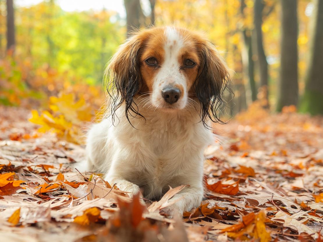 Herfstkleuren - Wat zijn die herfstkleuren toch mooi - foto door burrybrink op 09-01-2020 - deze foto bevat: natuur, herfst, portret, dieren, huisdier, hond, herfstkleuren, kooiker, seizoen, kooikerhondje