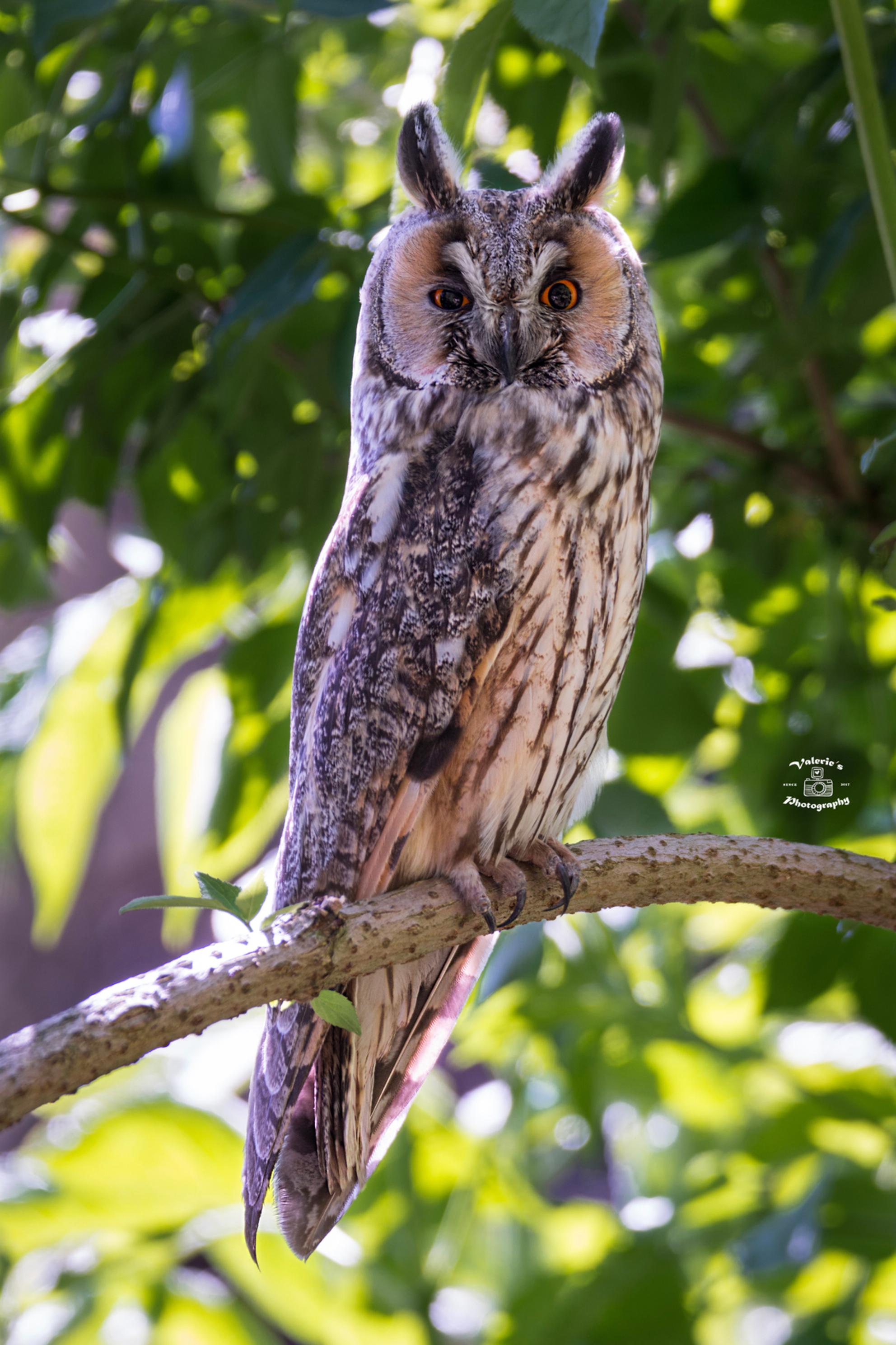 Ransuil - Deze Ransuil was toch echt wel het cadeautje van de dag - foto door Valeries-Photography op 23-05-2019 - deze foto bevat: boom, uil, nature, natuur, oranje, portret, dieren, vogel, wild, nederland, bird, wildlife, uilen, flevoland, ransuil, lelystad, dierportret, close-up, Long-eared Owl, Asio otus